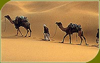 Camel in Desert, Rajasthan Travels & Tours