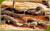 Crocodiles, Indian Wildlife