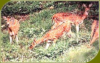 Spotted Deer, Indian Wildlife
